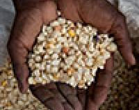 hands holding corn
