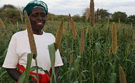 Patricia Matuku inspects her thriving pearl millet crops